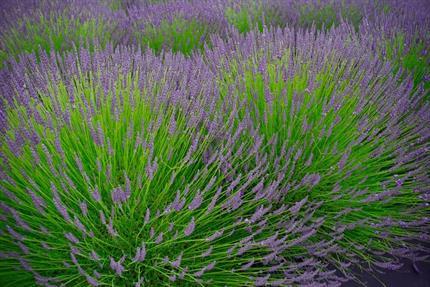 drought-resistant lavender plant